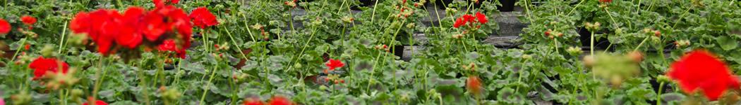 Vendita piante ornamentali in vaso e da frutto a terni for Piante da frutto nord italia